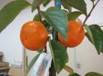柿の食べ比べ
