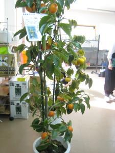 プランターの柿
