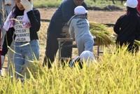 学童農園稲刈り