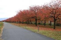 小布施町の桜紅葉