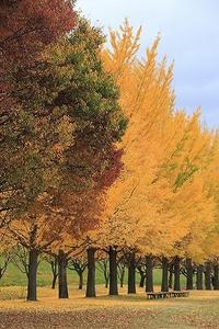 千曲市の銀杏並木