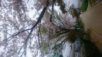 室見川河畔の桜を観賞