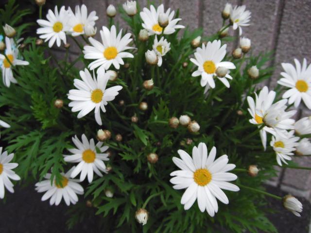 マーガレット (植物)の画像 p1_31