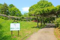フジの花@茶臼山自然植物園