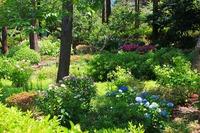 信州善光寺の紫陽花