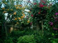 植物園のブーゲンビレア