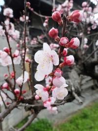 梅の花も白が好き♪