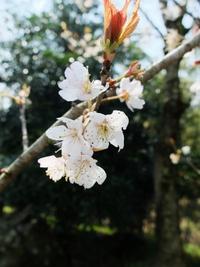 上陽町の山のなかで咲いてた桜。