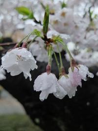 雨に濡れる職場の桜。