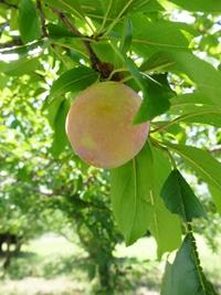 通りがかりの果樹園でみかけたスモモ。