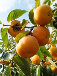 耳納山麓の柿。