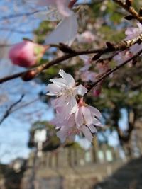 伊勢天照御祖神社境内の桜の花。