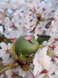 家族みんなで桜が満開の公園へ。