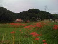 里山に咲く真っ赤な彼岸花