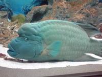 ターコイズブルーのお魚さん