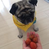 朝採れトマト♪ と 極小農園日記