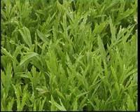 藜蒿的營養價值