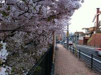 まだ桜は満開中!