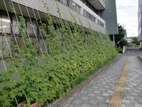 飯塚市役所 緑のカーテン  ゴーヤは新名物となるだろうか