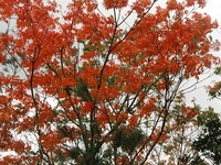 奄美の紅葉