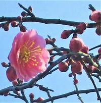 「枝垂れ梅」咲き始めてま~す♪