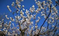 今日の庭の花便り~枝垂れ梅・八重梅・彼岸桜満開♪杏開も花