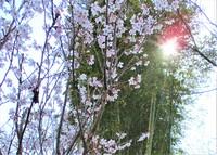 今日の庭の花&野鳥便り~「杏」「啓応桜」満開・「木瓜」開花♪