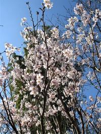 今日の庭の花だより~ 「杏」「啓翁桜」「梅」「椿」~「木瓜」の花に小鳥も♪