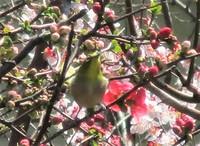 庭の花&鳥たより~「木瓜」に「メジロ」♬ アトリエは明日までお休みです。