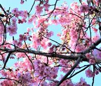 アトリエ&ファバラカフェ宿根草.お花見シーズンご案内