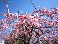 アトリエ&ファバラカフェ宿根草.早春のご案内です。