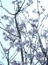 庭の花便りから~満開の「啓翁桜」&「杏」の花