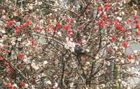 木瓜とヒヨ & 漆とたこ唐草の器で、桜と雛ののコーディネイト♪