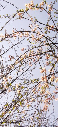 お花見ファバラカフェ宿根草.~スケジュール & ご案内 & 開花お知らせ