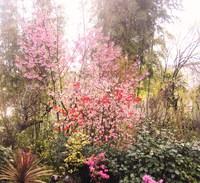 今日の桜便り~✿ 「陽光桜」 満開✿ 「山桜」 開花✿