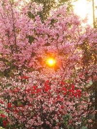 庭のさくら便り~❀ 「山桜」「染井吉野」「八重枝垂れ桜」
