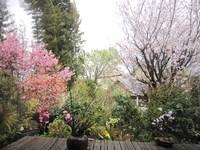 庭のさくら便り~❀ 「八重枝垂れ桜」お目覚め~❤