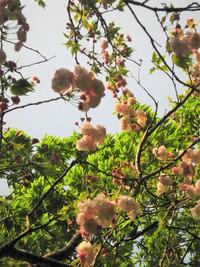 名残の桜は、八重桜~