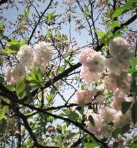 淡いピンクの八重桜