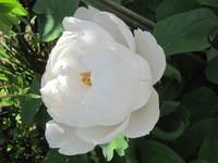 牡丹の花~白