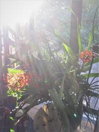 百合&赤いジンジャーの朝 ✦ 葉月名残のスケジュールです。