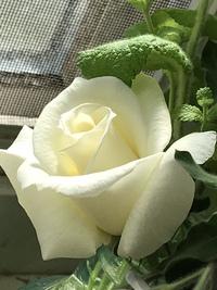 白ばら❣️(。^~^。)咲きました