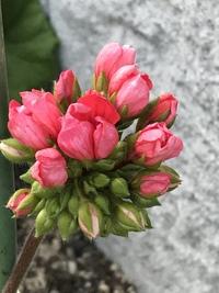 庭の花たち❣️(。^~^。)