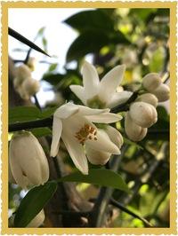 柑橘系の花が咲きました❣️٩(๑❛︎ᴗ❛︎๑)۶❣️