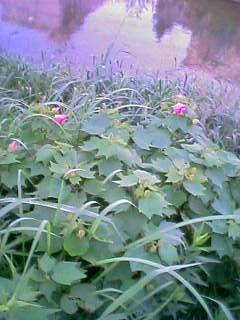 樋井川の野花