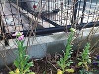 冬の花壇 ストックが咲きました!
