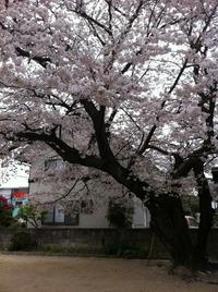 福岡は桜が満開です\(^o^)/