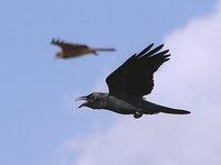 飛んでいる鴉
