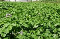 ジャガイモの生育状況