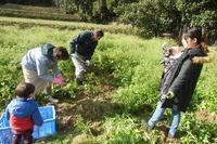 秋ジャガイモ収穫体験